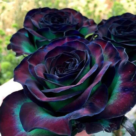 The color of this rose