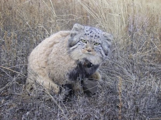 The farmer thought that he had taken a regular kitten on the street, but when he grew up, he was waiting for a surprise in the form of a wild forest cat, Pallas Cat.