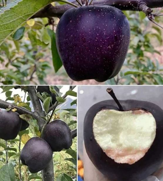 "The ""Black Diamond"" apple, only found in Tíbet."