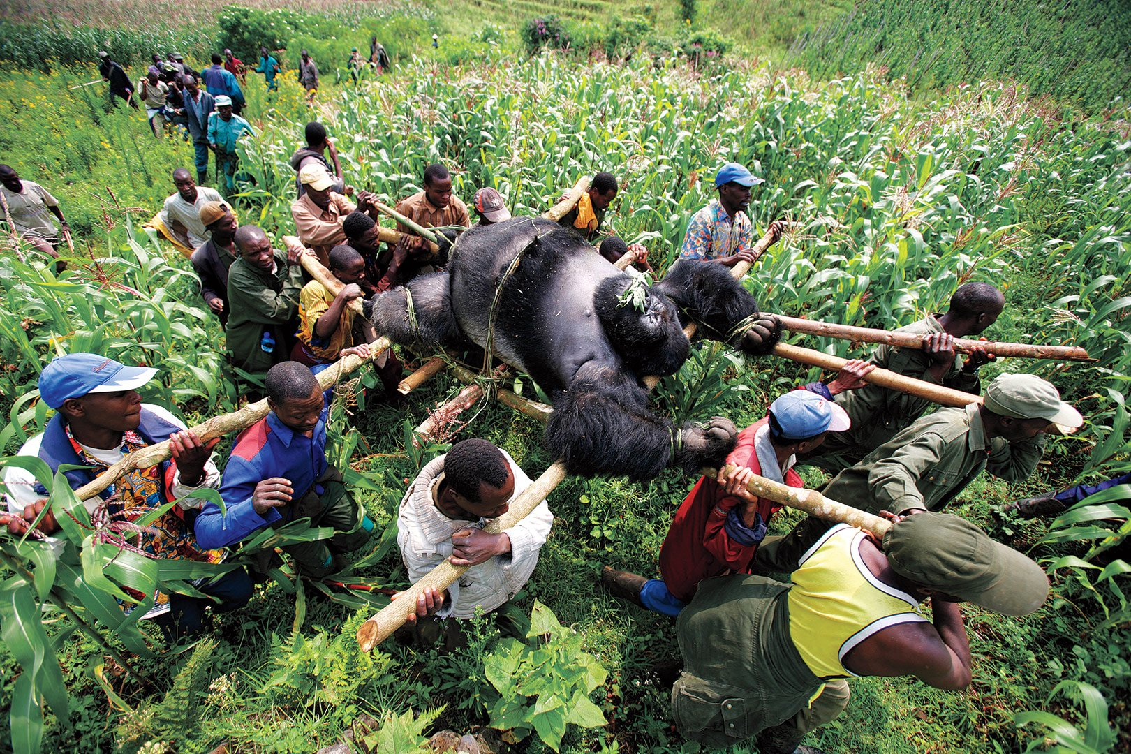 Rangers and villagers holding a funeral procession for a poached gorilla (by Brent Stirnton)