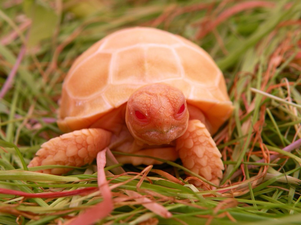 This is what an Albino Sulcata Tortoise looks like.