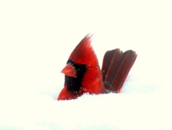 My wife's aunt took this from her home in Wisconsin. Cardinal jumped right in the snow.