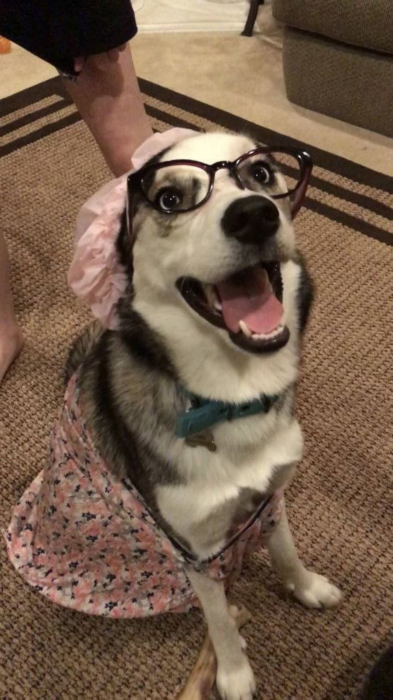"""8516875723 We dressed our pup up as """"The Big Bad Wolf"""" - Trending on Reddit"""
