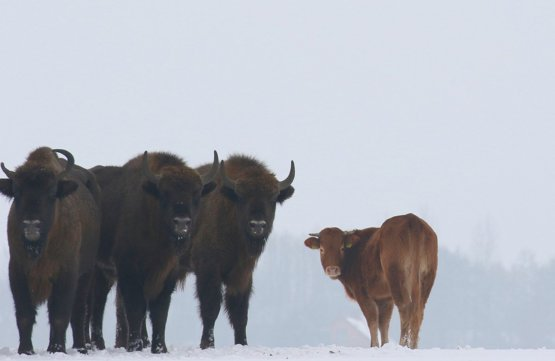 Cow runs away to live with a herd of bison