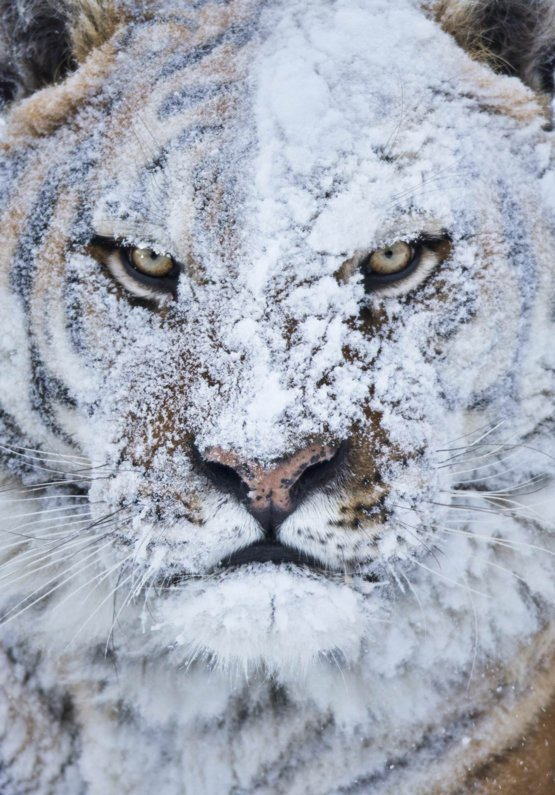 Tigers face covered in snow
