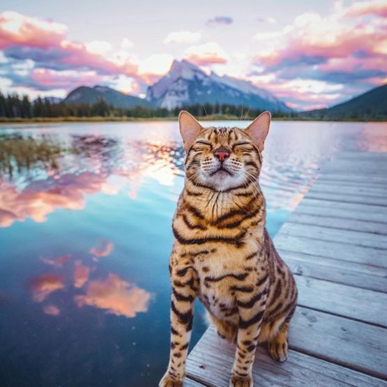 This Gorgeous Bengal Cat