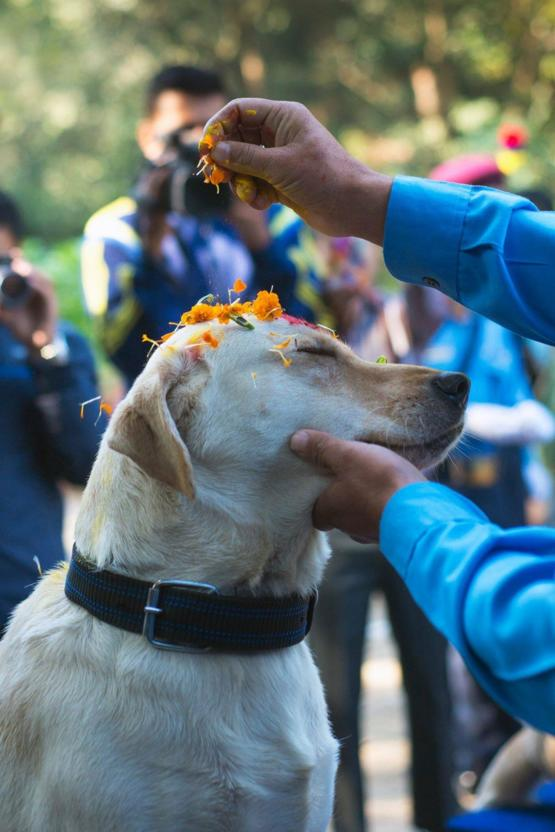 Today is Tihar festival in Nepal which has a day devoted solely to the celebration of man's best friend,dogs.