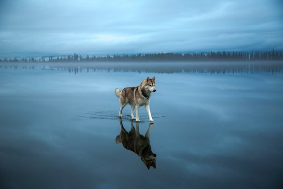 Husky on thin ice sheet