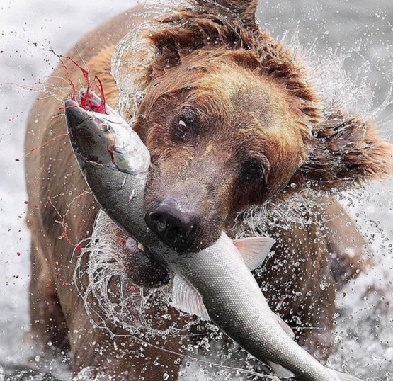 A grizzly bear catching a fish