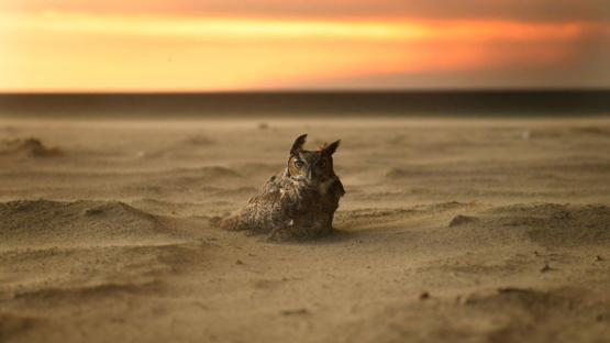 Owl escaping the southern California wildfires by taking refuge on the beach