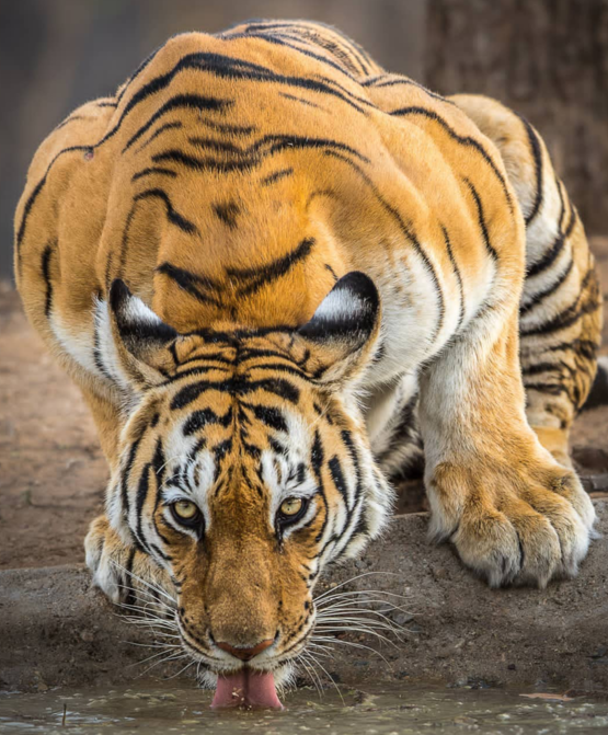 Amazing shot of Durga the Tigress from Pench National Park in India.
