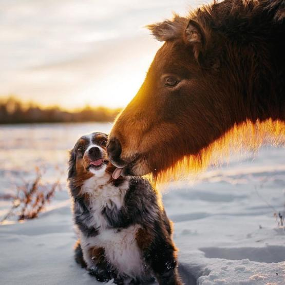 It's not unusual for Holly, a 5-year-old Australian Shepherd, to go up and greet Vicky, a 3-year-old miniature horse. But this time Vicky licked back and Holly wasn't sure what to think about it.