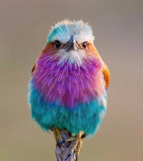 The lilac-breasted roller.