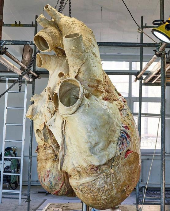 The heart of a Blue Whale.