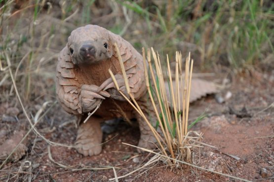 A Pangolin poses for the camera