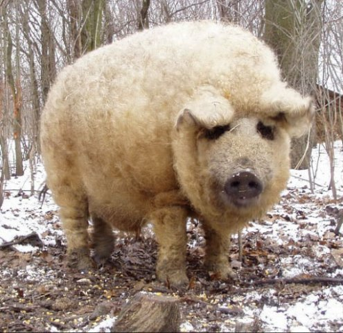 Just a reminder there are fluffy pigs. Image not mine.
