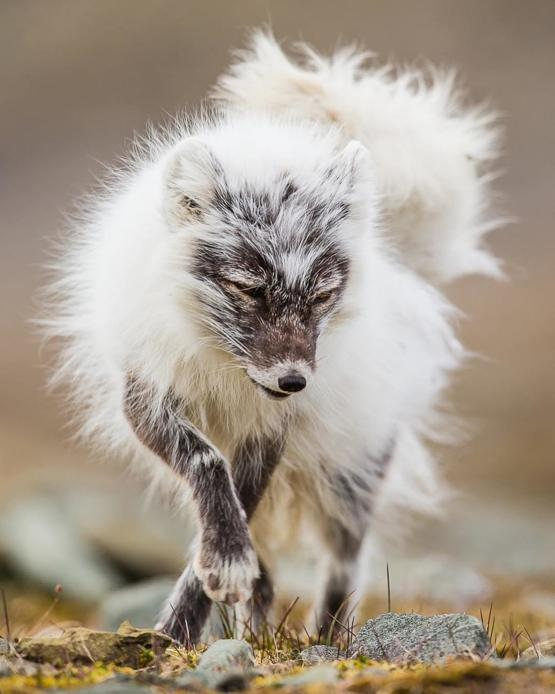 Arctic fox looks like a walking cloud