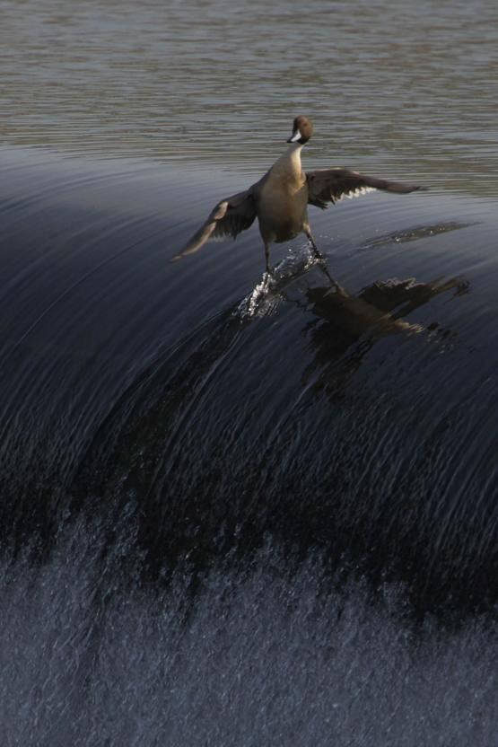 The coolest duck EVER