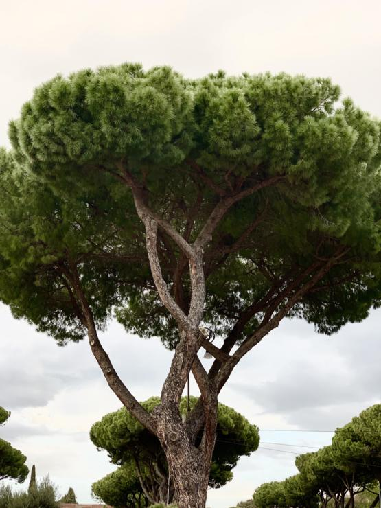 The trees in Rome are so beautiful!