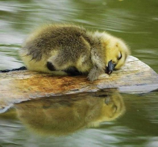 Duckling by the water.