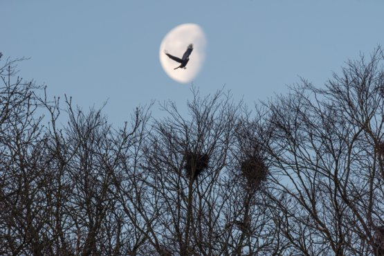 I positioned myself to take a shot of the moon above the crows' nests, when the crow appeared from nowhere and the auto focus locked on to it
