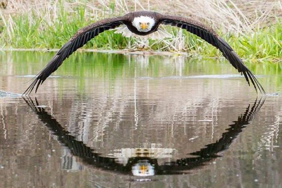 Photographer Steve Biro was lucky enough to capture a remarkable symmetrical reflection of this beautiful Bald Eagle at the Canadian Raptor Conservancy