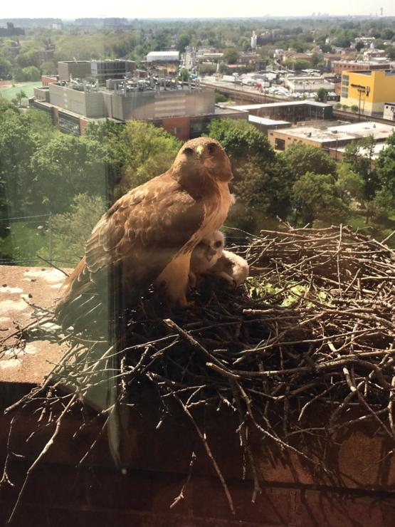 Hawks outside the office window. Someone is happy mom is home