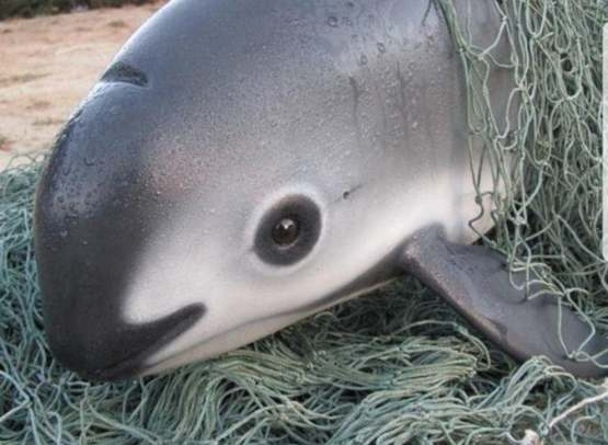 The vaquita is a tiny, critically endangered species of porpoise from the Gulf of California. As of Msrch 2019, only 12 individuals remain. Today is Save the Vaquita Day.