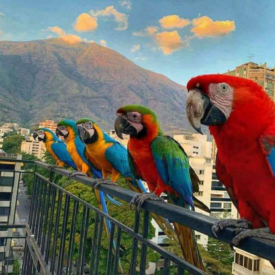 Macaws are a common visitors you will have in your windows and balconies if you live in Caracas, flying freely they expect people to fed them with fruits. They love papaya