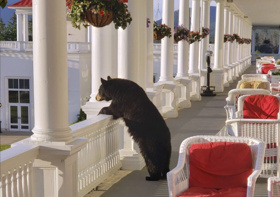 Black Bear Relaxing At New Hampshire Hotel