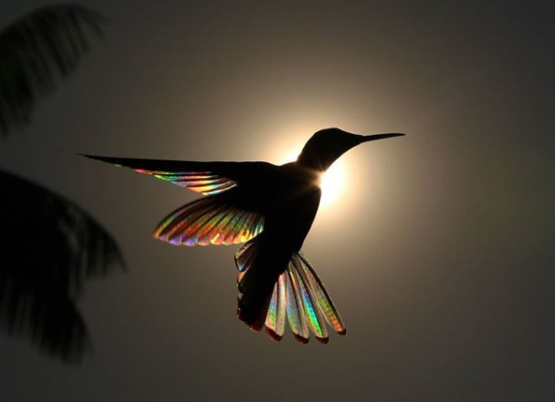 Prismatic Hummingbird. Incredible shot by photographer Christian Spencer