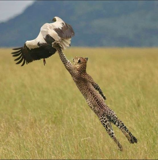 An African leopard makes a fantastic leap to snare a white stork.