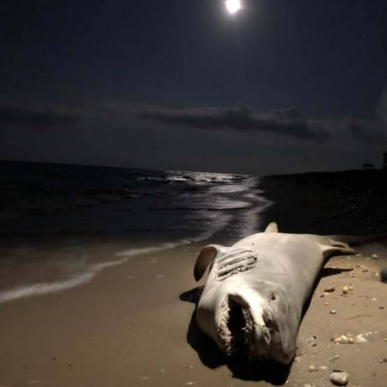My wife took this picture with my phone of this dead shark under the full moon.