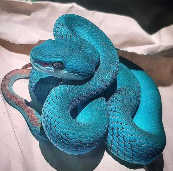 This Beautiful Blue Pit Viper