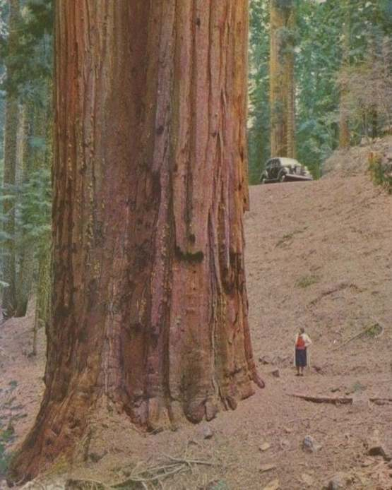 This is how big a redwood is.