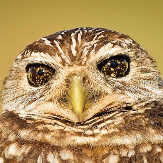 The incredible eyes on this burrowing owl.