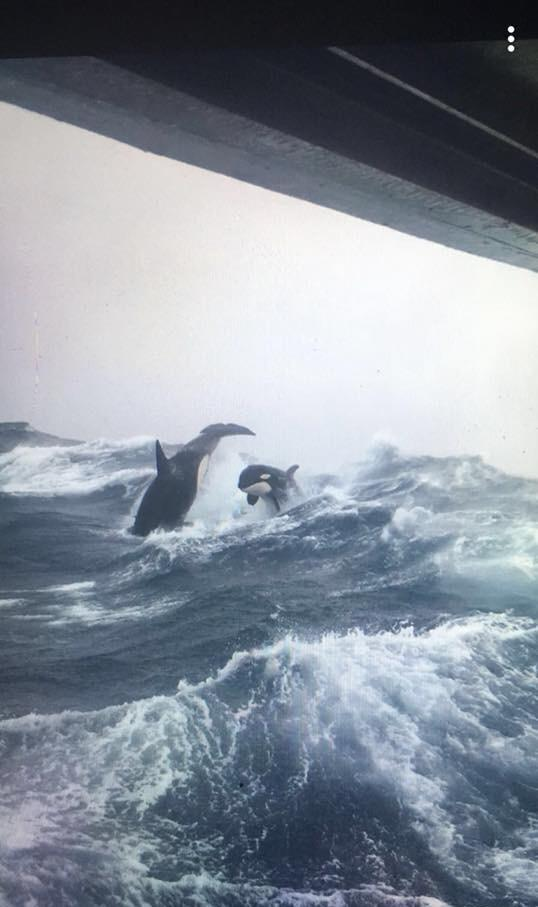 Orcas breaching in rough seas, photo taken from a sword fishing boat off the coast of Nova Scotia