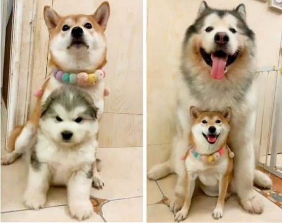 Shiba inu look so proud of his boy
