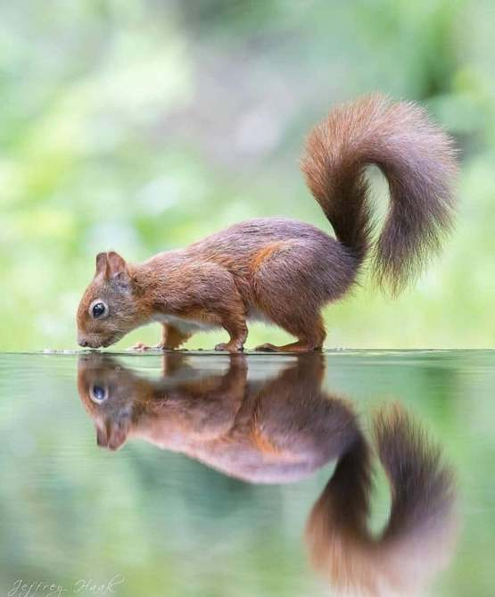 a brown squirrel