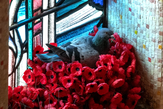 A pigeon has been stealing poppies from the Tomb of the Unknown Soldier at the Australian War Memorial to make a nest.