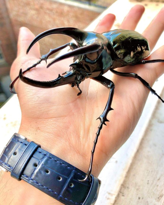 This majestic three-horned Rhinoceros Beetle