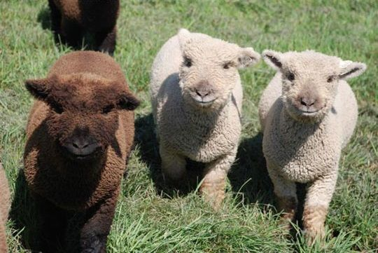 There are so many cats and dogs on the Internet that we forget about newborn alpacas..