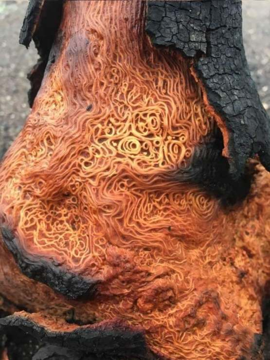 This burned tree has a very intricate pattern underneath the bark.