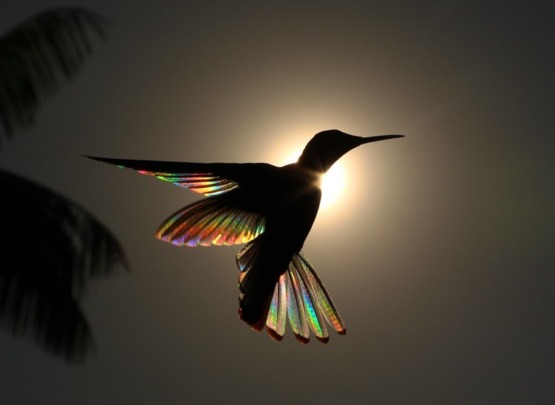 A rainbow of light refracts through a hummingbird's wings. Credits: Christian Spencer
