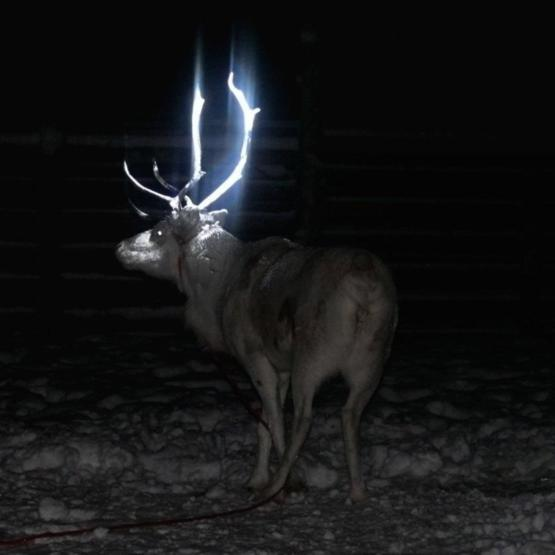 Herders in Lapland (Finland) are spraying their reindeer's antlers with reflective paint to help drivers see them in the dark, majestic right