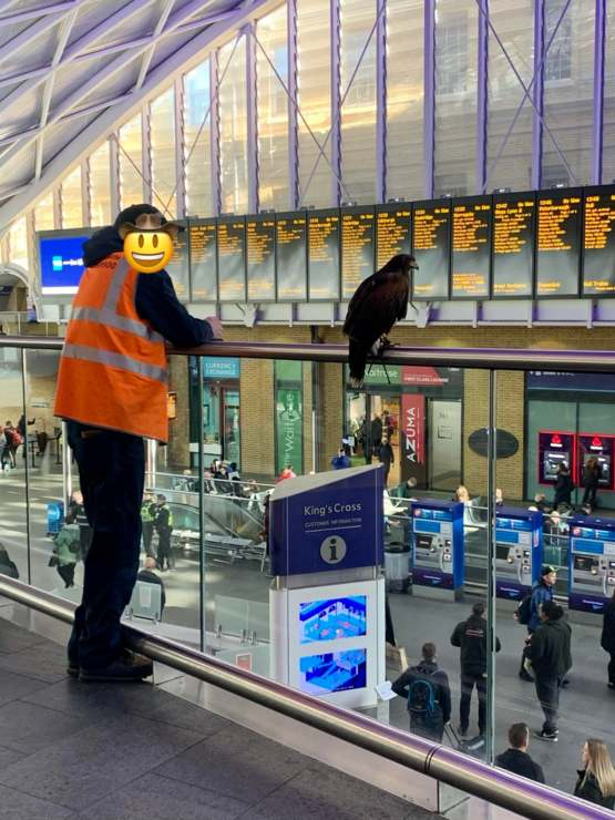 This hawk is employed to scare off the pigeons at the train station