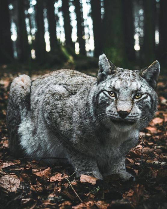 Beautiful German Lynx
