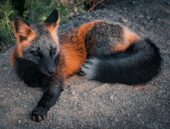 How majestic is this cross fox!!!