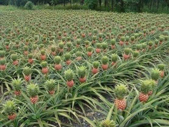 So this is how pineapples grow and are farmed