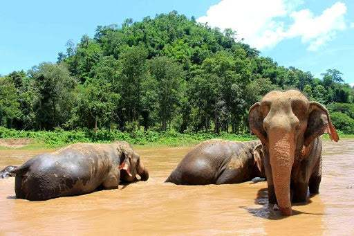 Thailand's drop in tourism meant elephants that carried humans were freed into the wild. 3/24/2020